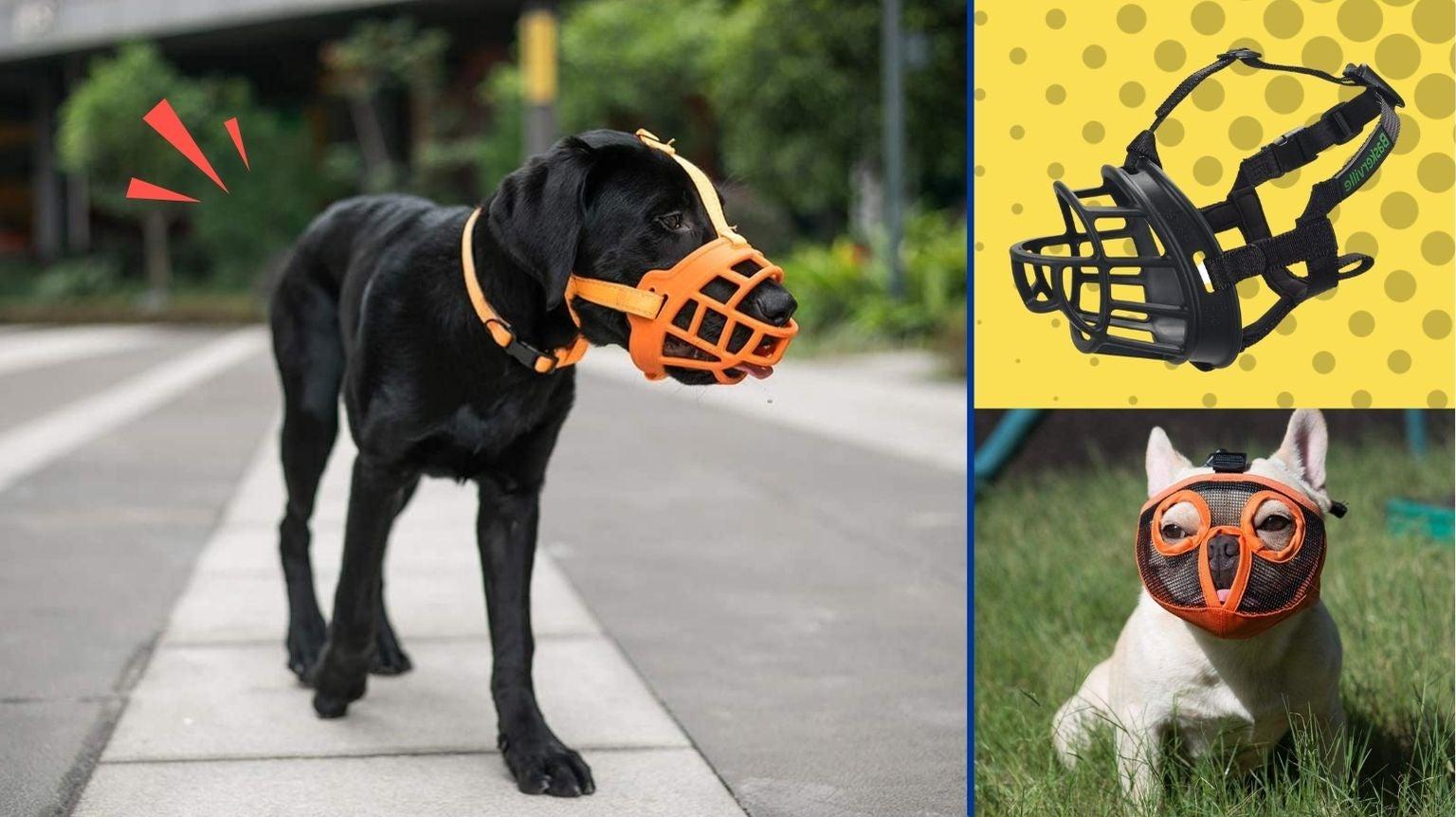 Black Labrador wearing a dog muzzle