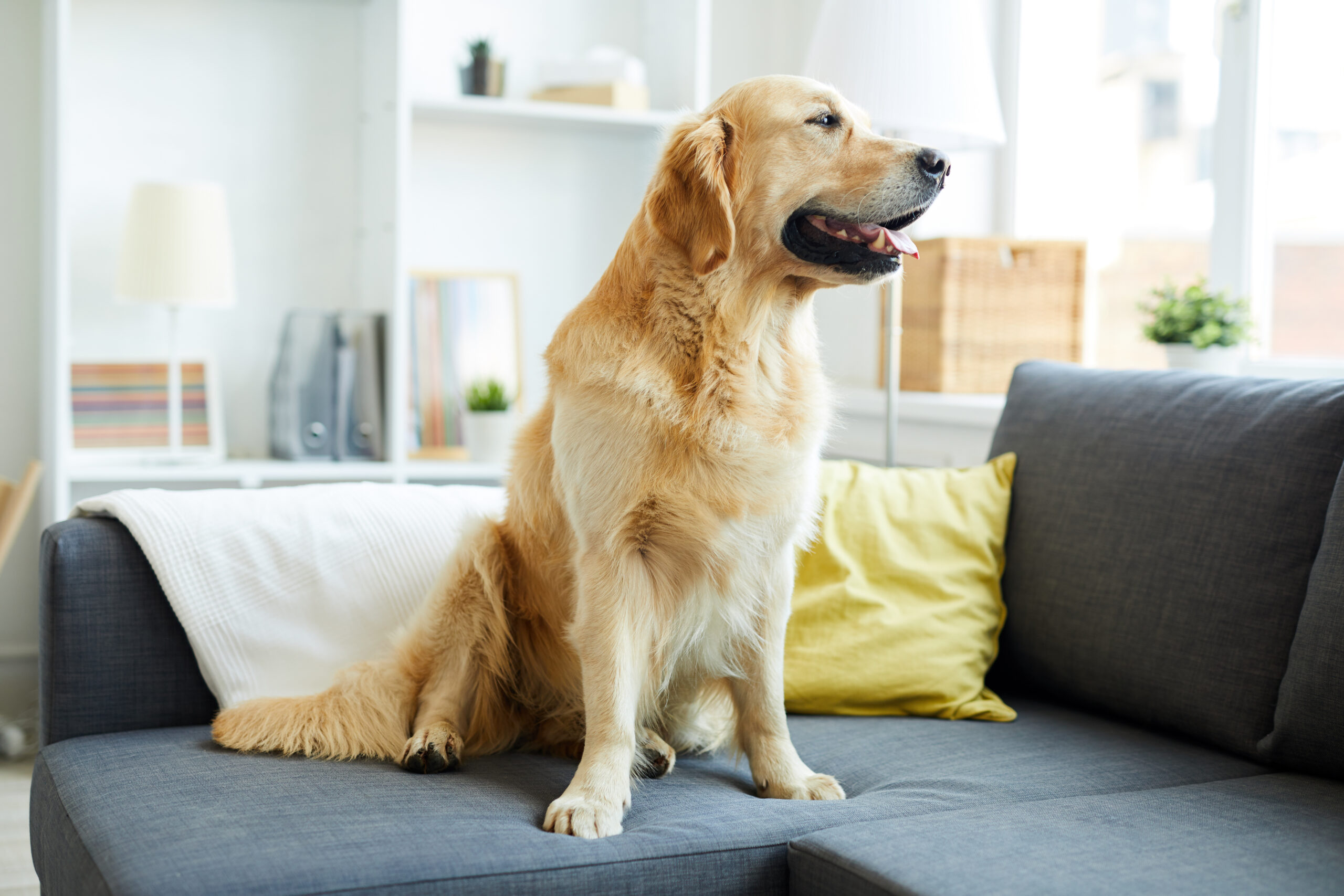 Golden Retriever sitting on the couch looking out the window.