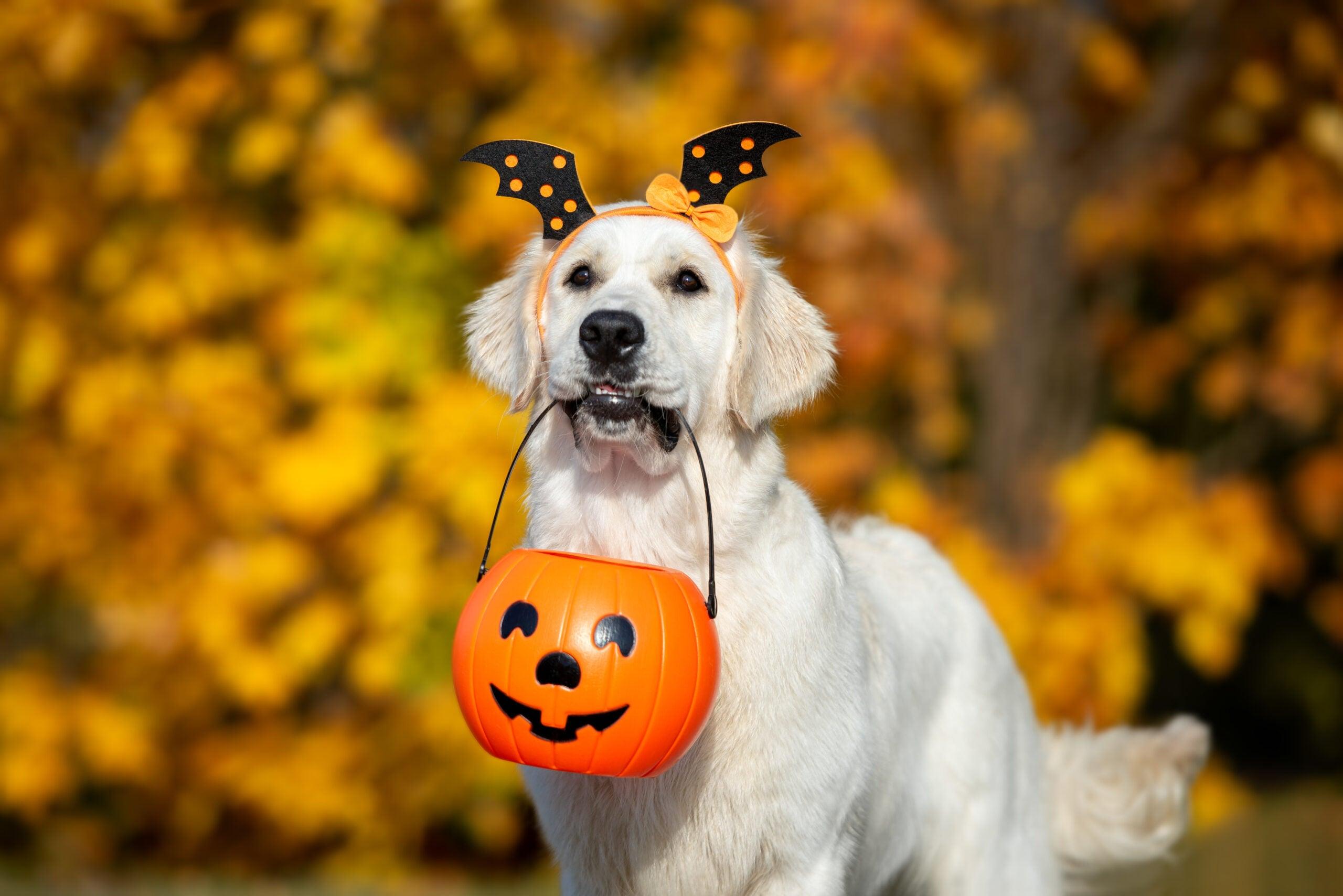 Golden Retriever wearing a Halloween headband ready to trick or treat.