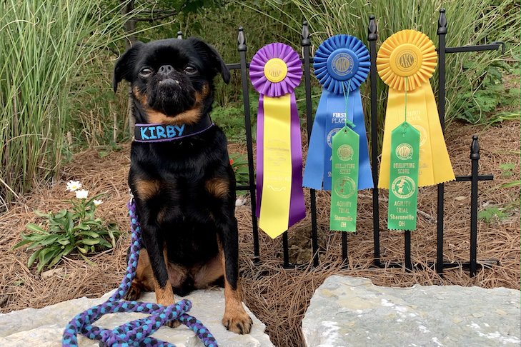 Kirby the Brussels Griffon with his ribbons.