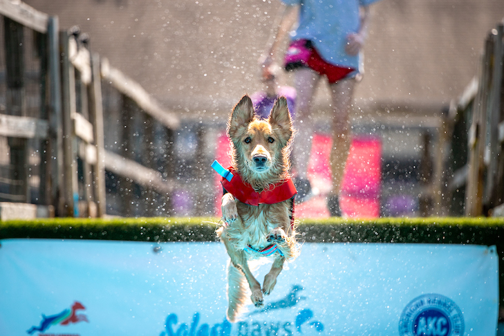 Bauer the Golden Retriever jumping into the water.