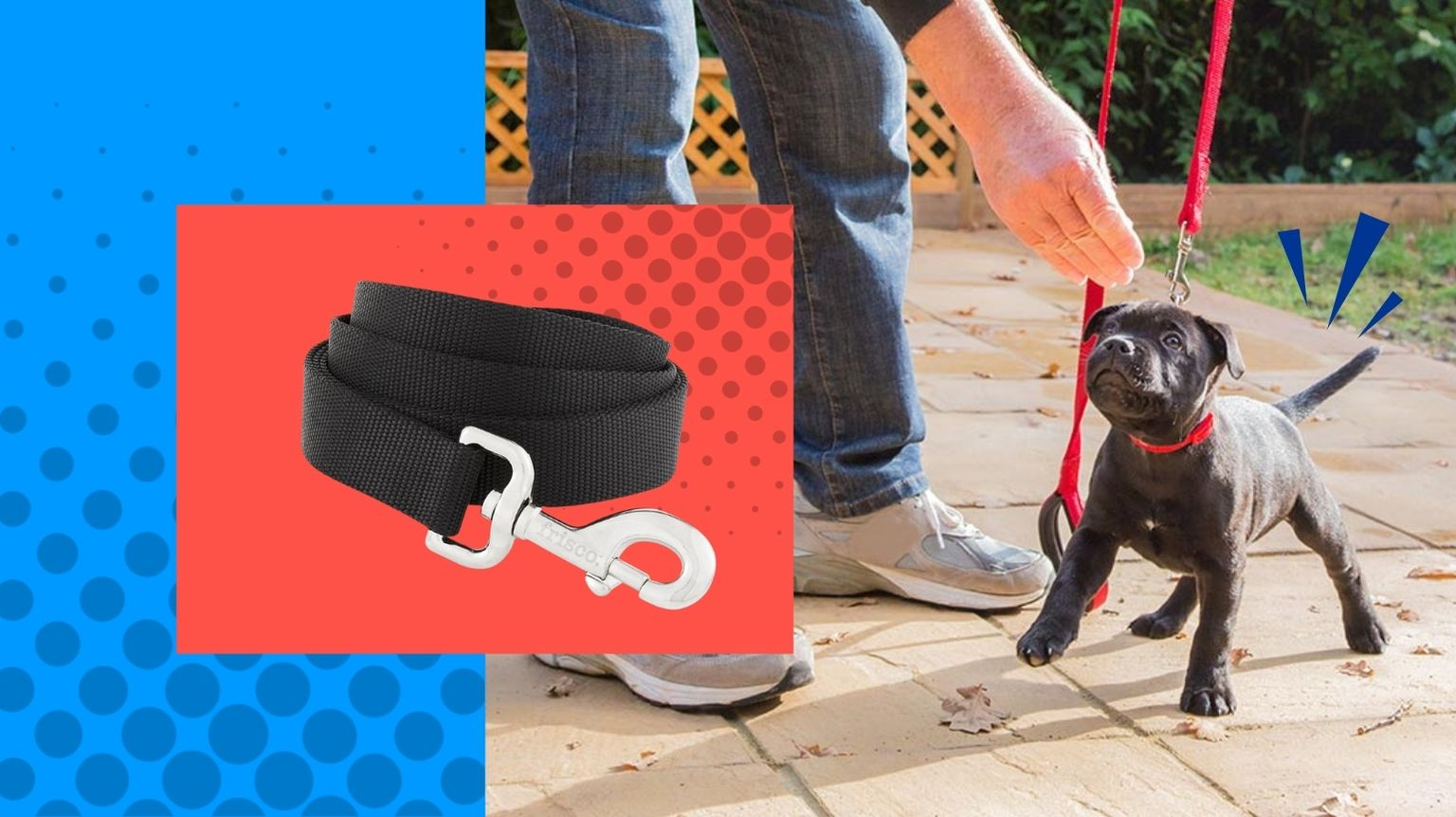 Staffordshire Bull Terrier puppy being trained on a leash