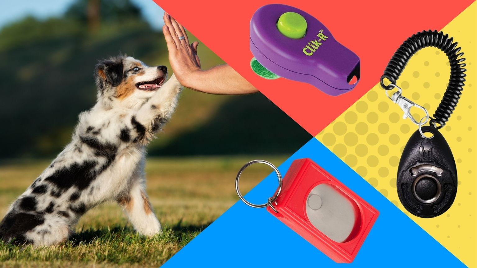 Australian Shepard with dog training clickers