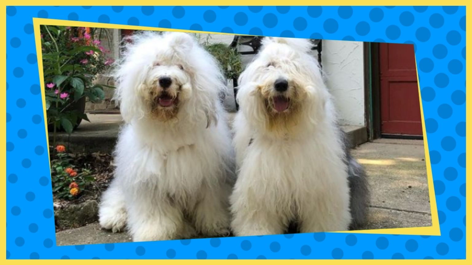 Old English Sheepdogs Winston and Percy